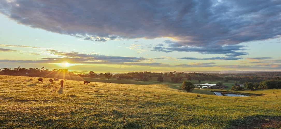 Sunrise over cows
